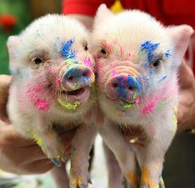 cute-pigs